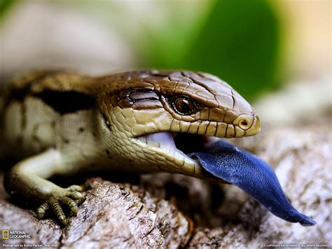 australian backyard lizards blue tongued lizard picture animal wallpaper national geographic photo of the day