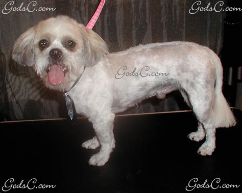 shih tzu after grooming shih tzu god s creatures