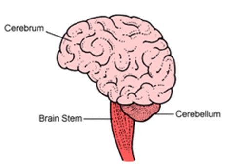three main sections of the brain parts of the brain yara s website