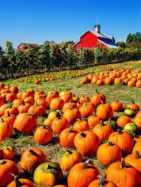 pumpkin patches pumpkin patch pumpkins and mums