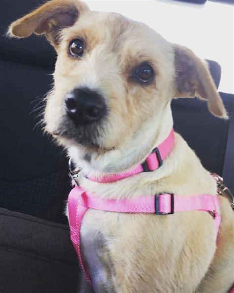 puppy adoption seattle view ad lab aire for adoption washington seattle usa