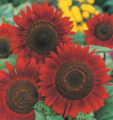 Benih Bunga Matahari Sunflower 4 sunflowers charles hart seed company