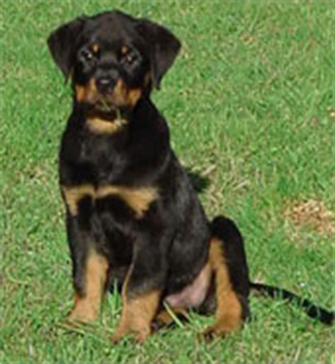 do rottweilers tails the rottweiler