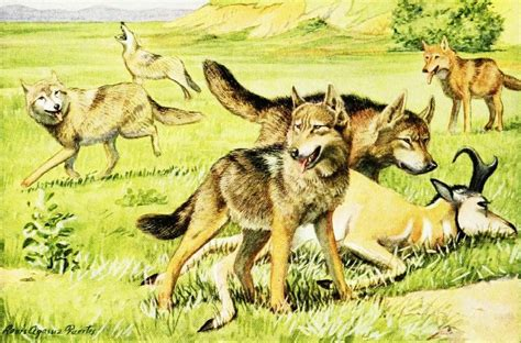 the domestication how wolves and humans coevolved books wiki gray wolf upcscavenger