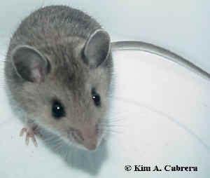membuat robot tikus robot tikus pembersih white board reza slash