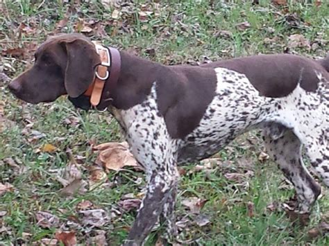 german shorthaired pointer puppies va german shorthaired pointer for sale by gierok