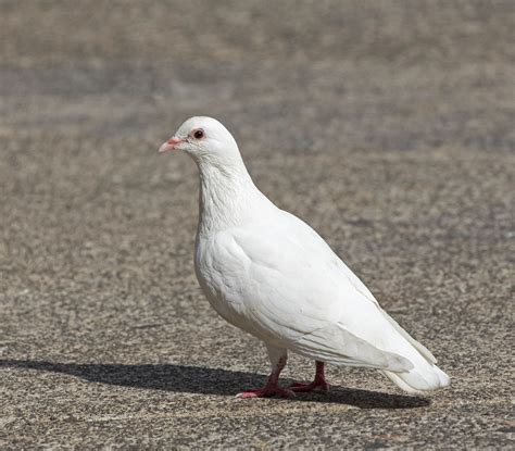 The In White pictures and information on white pigeon