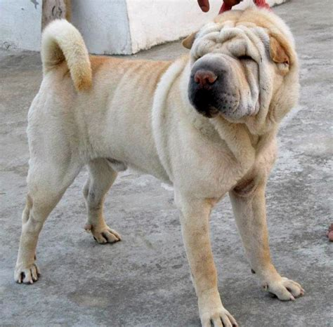 shar pei puppy price shar pei puppies for sale ashok 1 8695 dogs for sale price of puppies dogspot in
