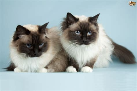 breeds of the uk s top 10 most popular cat breeds pets4homes