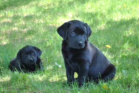 labrador puppies information labrador retriever breeder faq and puppy information