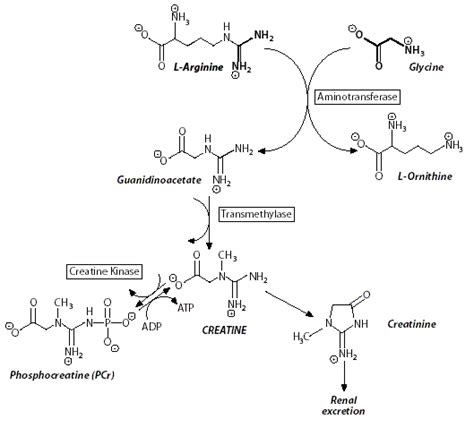 creatine synthesis greenchem a greener synthesis of creatine