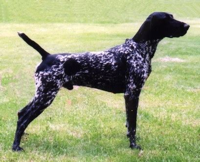 black german shorthaired pointer puppies german shorthaired pointer dogs