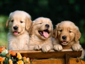 Chesapeake Light Craft It S Hd Animals Funny Wallpapers Golden Retriever