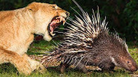 film dokumenter hewan liar ngerii pertarungan singa vs landak perkelahian