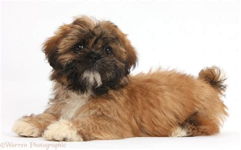 shih tzu brown brown shih tzu pup lying with up photo wp38155