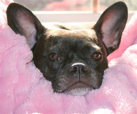 frenchton puppies frenchton dogs breeds picture