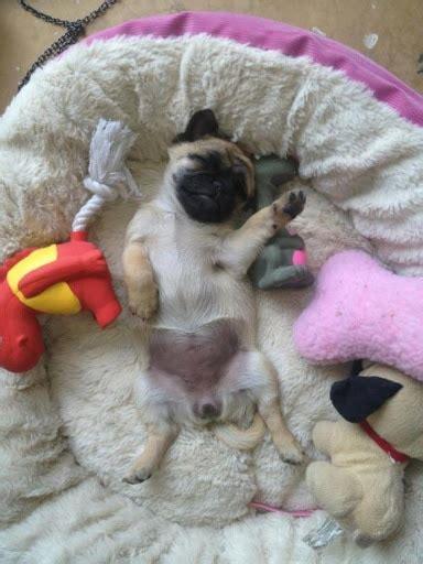 pug sleeping the 10 most awkward pug sleeping