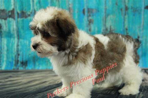 parkers precious puppies paul on hold the boy yorkipoo quot s precious puppies