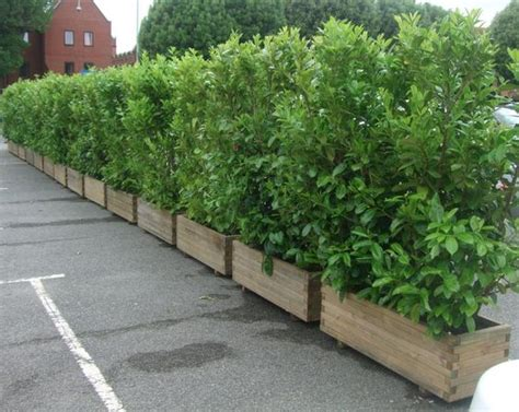 screening plants in planters to contain growth out back