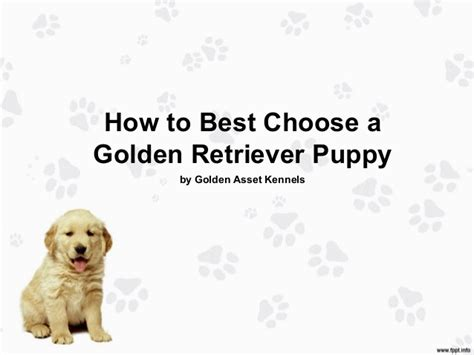 choosing a golden retriever puppy how to best choose a golden retriever puppy