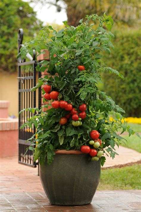 Patio Tomato Plant Care by Tomato Varieties For Your Container Garden Growing