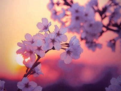 fiori ciliegio giappone hanami e i ciliegi in fiore non c 232 nulla di