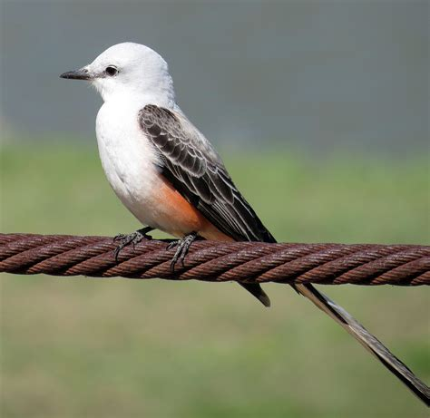 texas bird of paradise the scissor tailed flycatcher is
