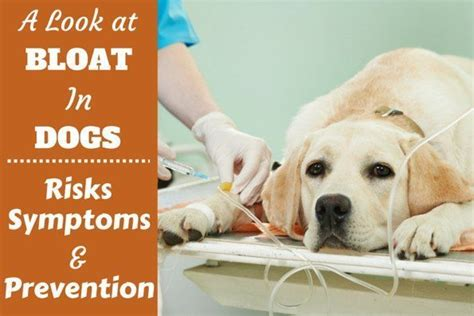 puppy bloat symptoms bloat in labradors risks symptoms and prevention