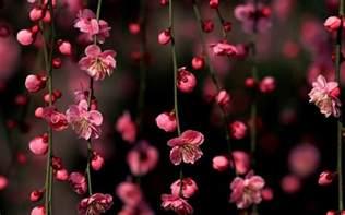cherry blossom pics cherry blossom desktop wallpapers wallpaper cave