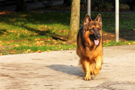 german shepherd how to how to identify a breed german shepherd 4 ways you might check
