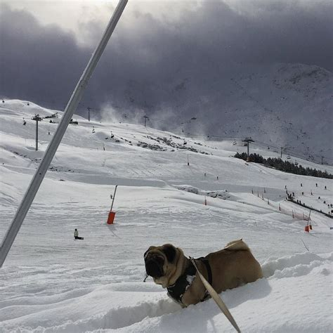 pug skiing much snow by pugporsche pug porsche snow and ps