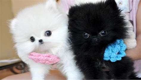 pomeranian puppies for sale 100 pomeranian puppies 100 for sale united states pets 3