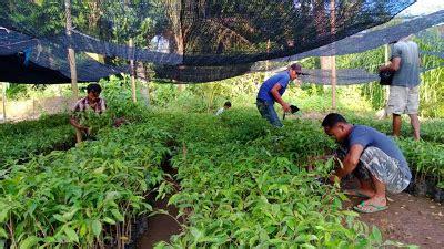Jual Bibit Buah Surabaya bibit tanaman murah jual bibit gaharu di surabaya