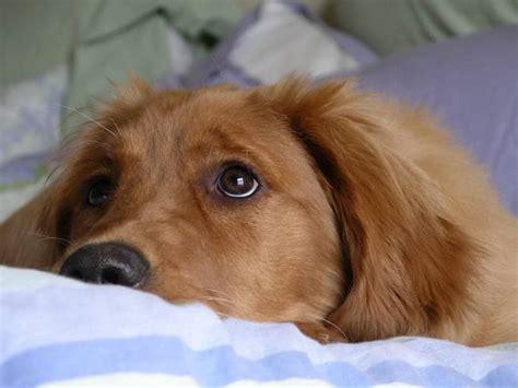 golden retriever puppy teeth falling out erk 228 ltungen beim hund symptome und behandlung