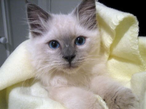 rag doll images ragdoll cat pictures and images