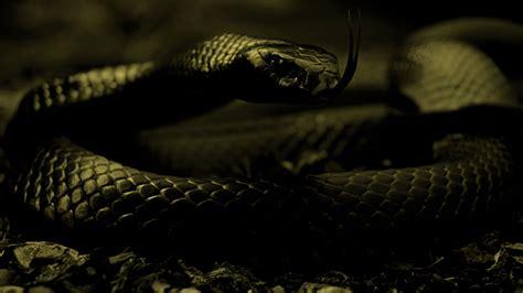 wallpaper black mamba snake black mamba snake wallpaper wallpapersafari