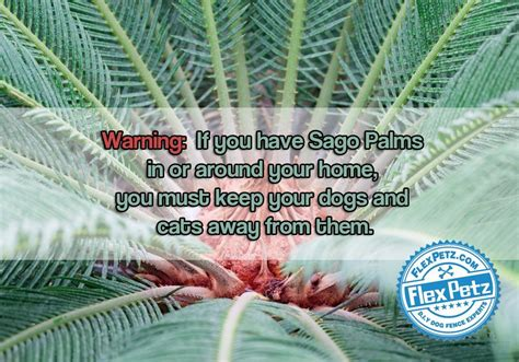 sago palm dogs beware of sago palms and your