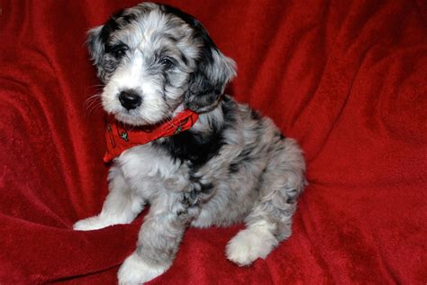 mini aussiedoodle minnie the mini blue merle aussiedoodle puppy