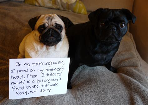 pug with no a pug with no apologies