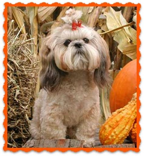 my shih tzu keeps itching news and tips from shih tzu palace puppies