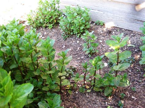 Mints On Pinterest Mint Herbs And Peppermint Rock Garden Herbs
