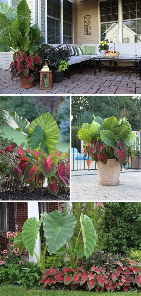 Longfield Gardens by Color Feature Elephant Ear And Caladium Longfield Gardens