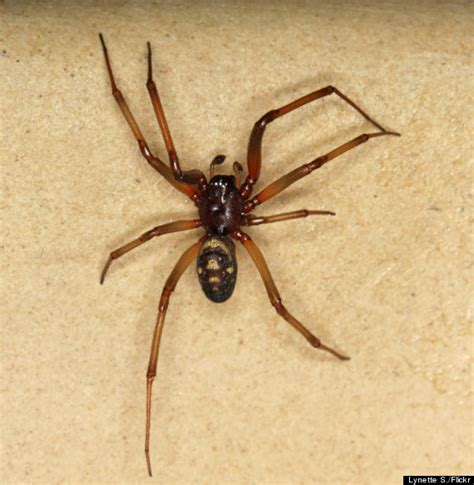 Garden Spider Vs False Widow Spiders Page 5 Forum Tna Indy