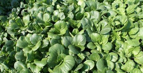 Harga Bibit Sawi Dan Kangkung 11 contoh tanaman hidroponik yang cepat menghasilkan