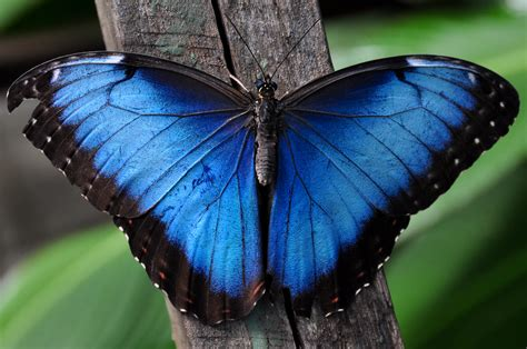 Butterfly Blue nature s nanotechnology bio mimicry and the