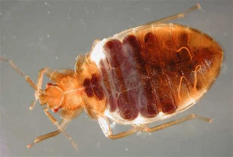 all about bed bugs where did all the bed bugs go canada com