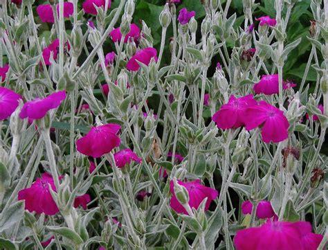 rose campion   southern exposure seed exchange