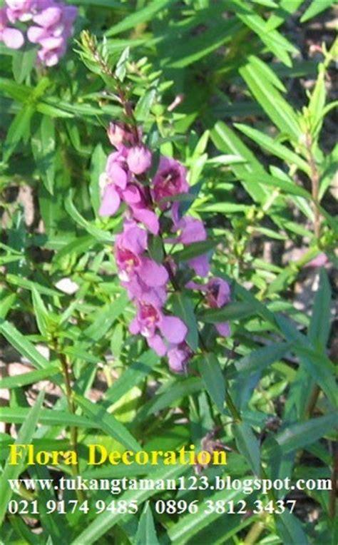 Tanaman Bunga Hias Lavender jual pohon lavender bunga ungu putih pink tanaman