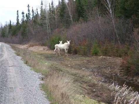 One Bedroom Apartments In Ct rare albino moose sightings in ontario edit youtube