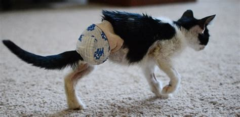 osteosarcoma dogs osteosarcoma in cats and dogs cats